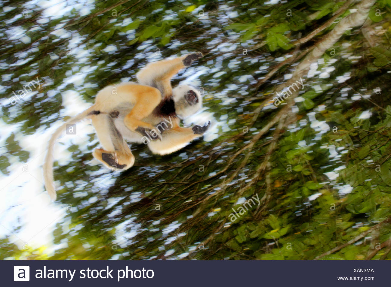 diadem sifaka, diademed sifaka (Propithecus diadema), jumping from tree to tree, Madagascar, Analamazaotra National Park - Stock Image