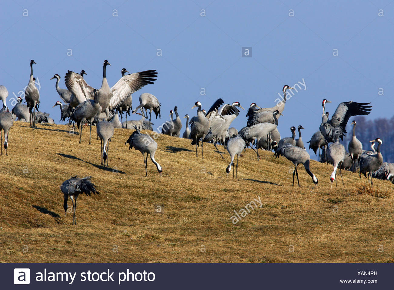 Resting common cranes (Grus grus) at the lake Hornborga in Sweden - Europe Stock Photo