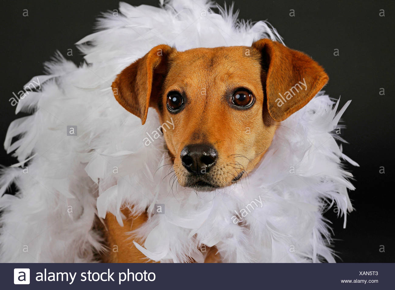 domestic dog (Canis lupus f. familiaris), with white feather boa in front of black background, portrait - Stock Image