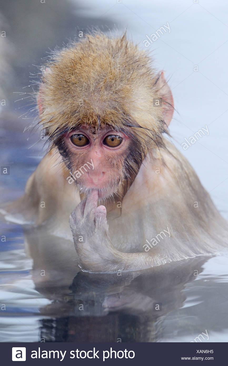 Young Japanese Macaque or Snow Monkey (Macaca fuscata), sucking finger, Affenpark Jigokudani, Nagano Präfektur, Japan Stock Photo