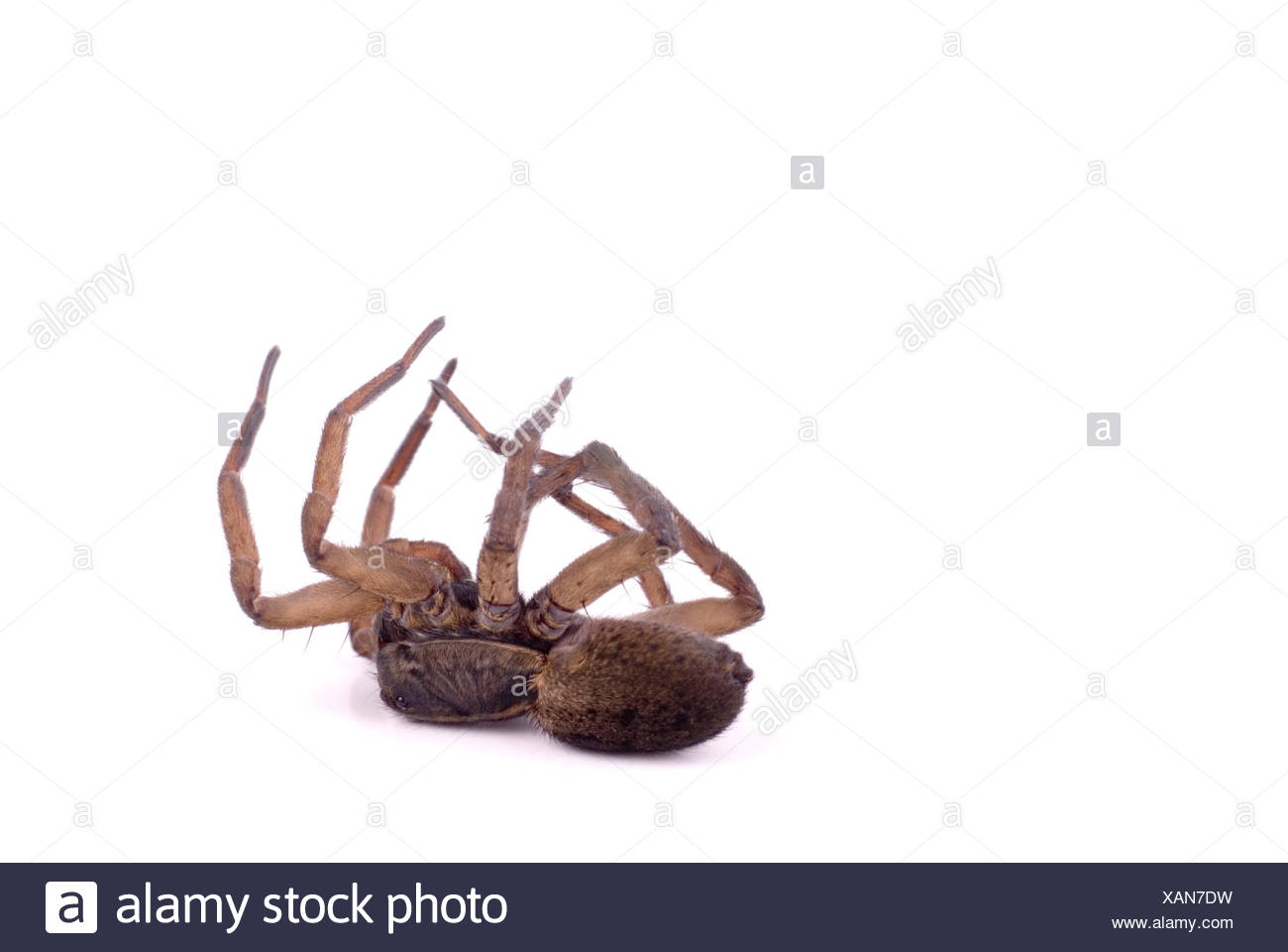 macro, close-up, macro admission, close up view, closeup, spider, wolf, legs, - Stock Image