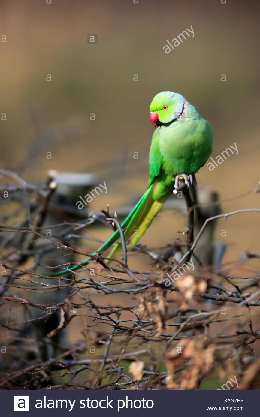 Ring-Necked Parakeet, Mannheim, Germany, Europe / (Psittacula krameri) Stock Photo