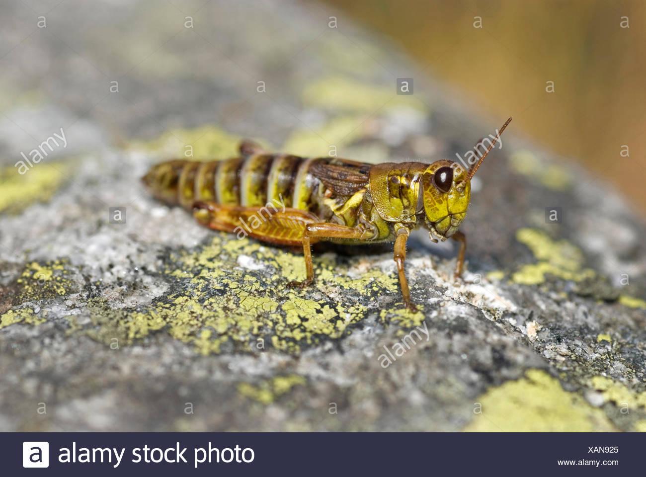 Northern migratory grasshopper (Melanoplus frigidus, Bohemanella frigida), sitting on a rock, Switzerland - Stock Image