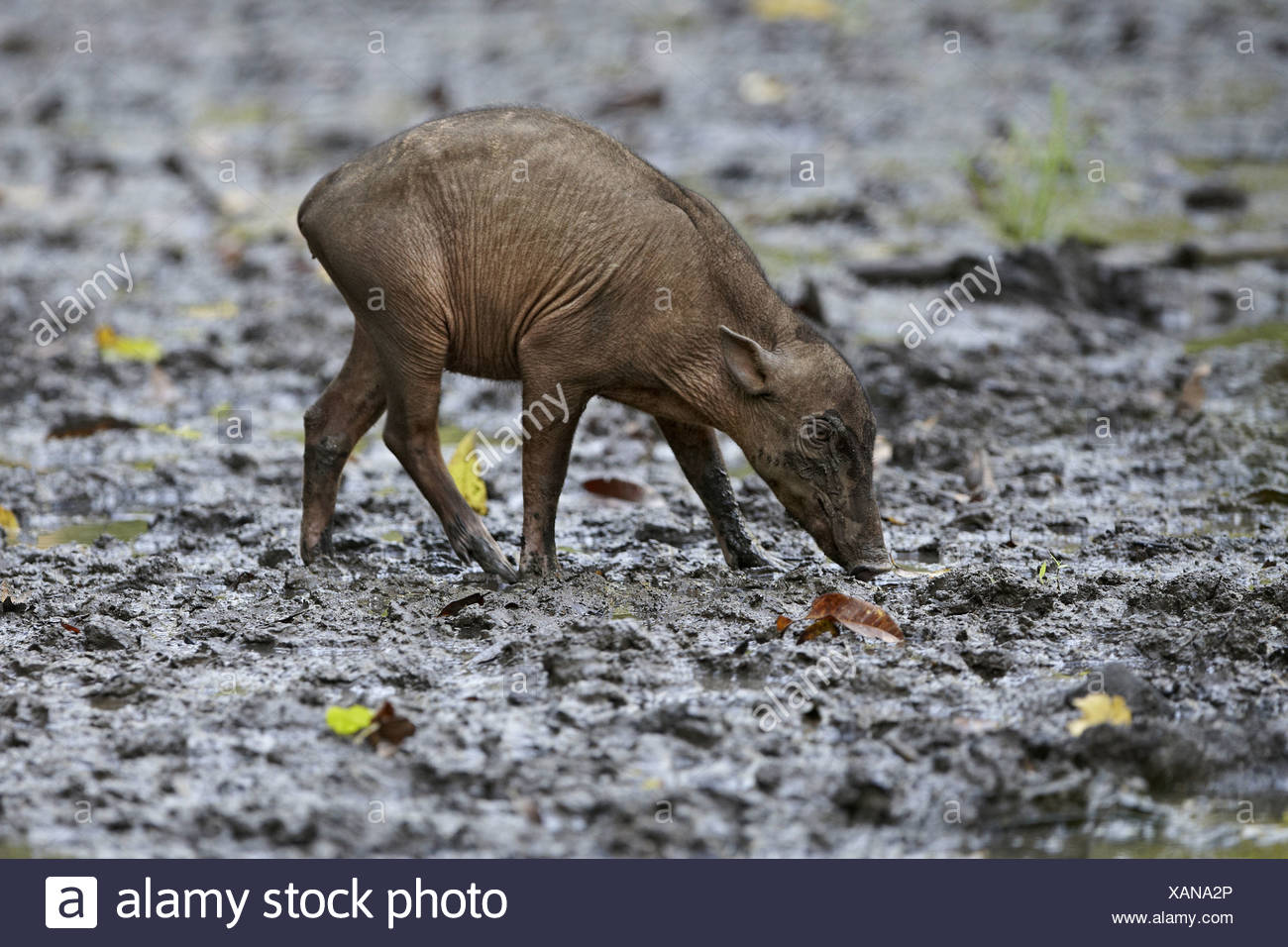 North Sulawesi Babirusa (Babyrousa celebensis) young, walking in mud at salt lick, Nantu Reserve, Sulawesi, Indonesia - Stock Image