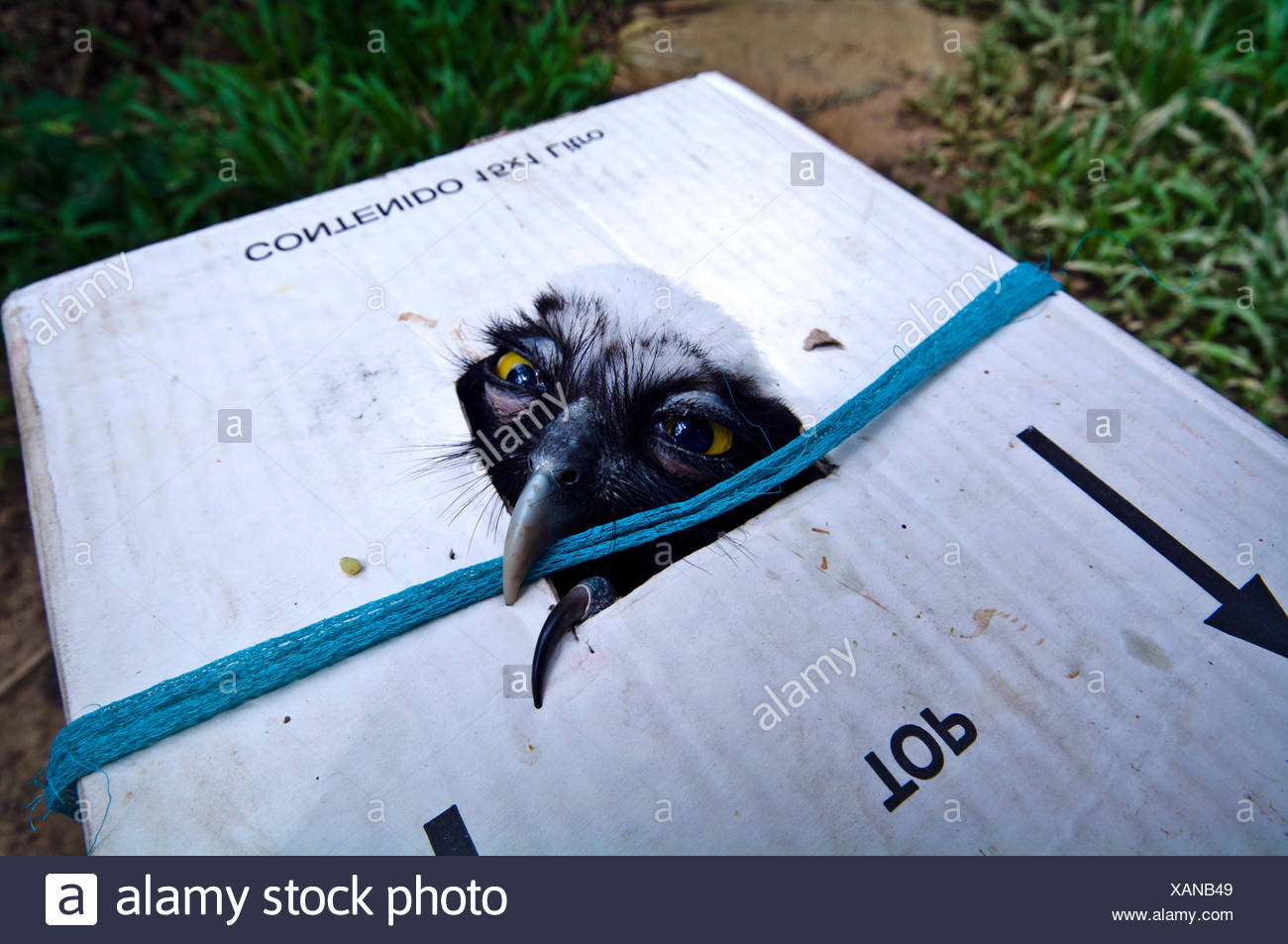 The defeated stare of a Spectacled Owl as it peers through a hole in a poachers cardboard box. - Stock Image