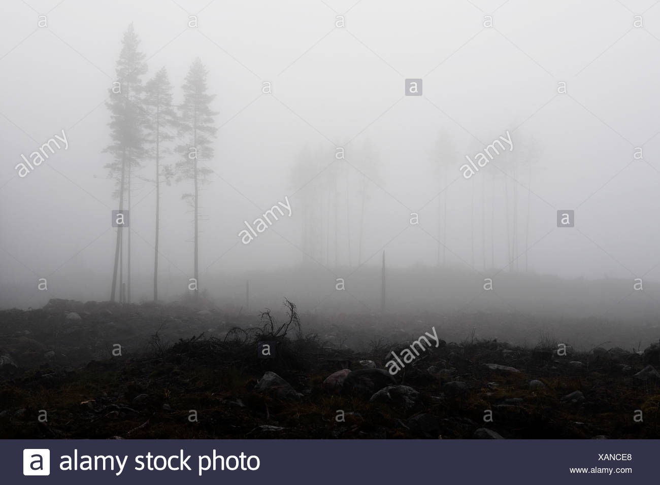 Trees in thick fog - Stock Image
