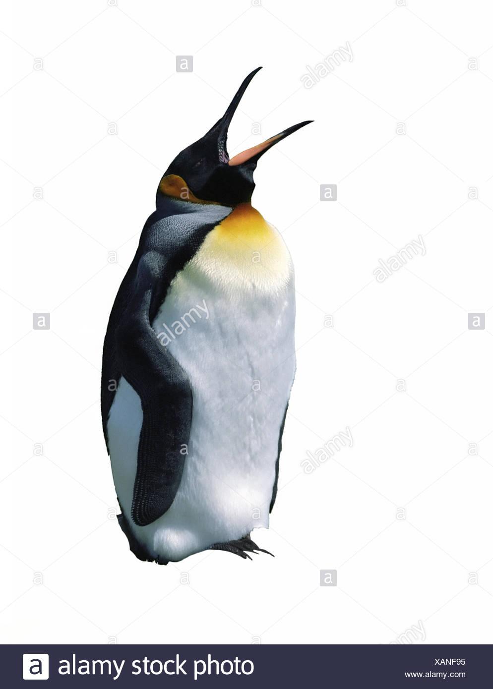 Chick emperor penguin - Stock Image