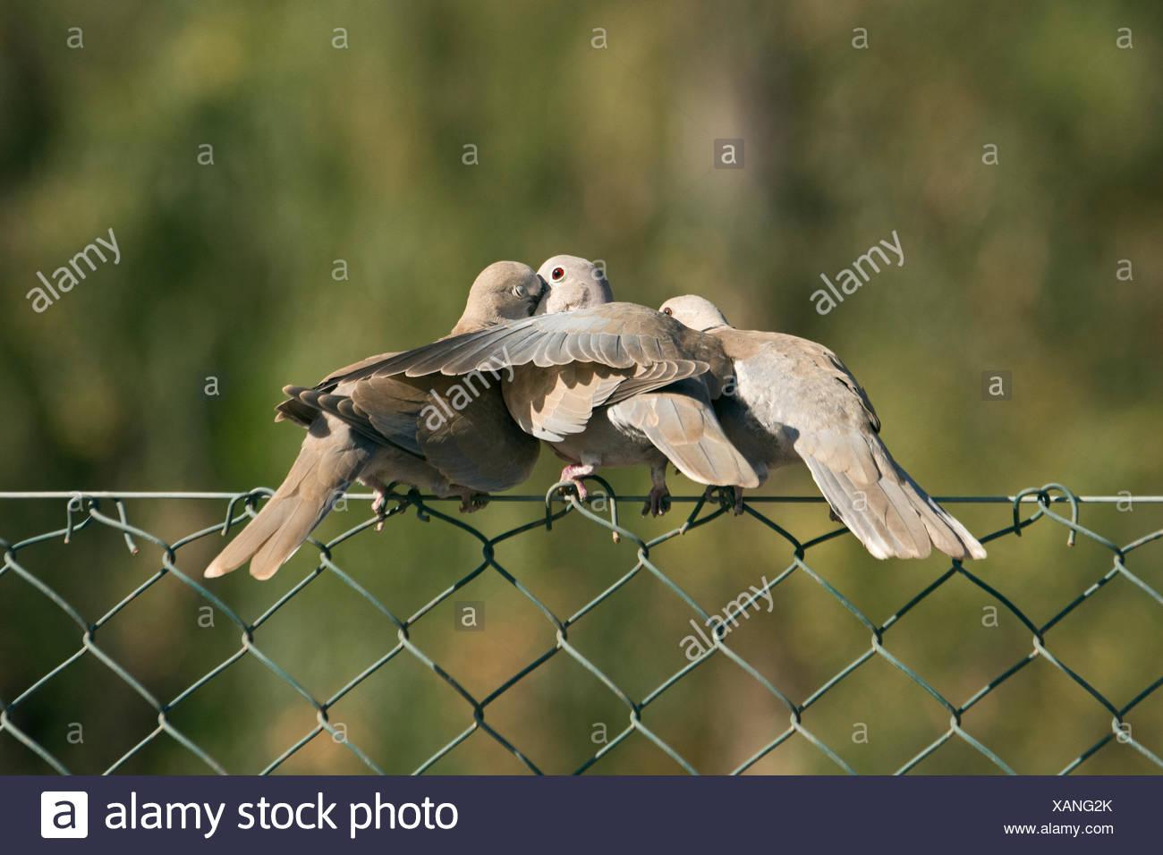 Eurasian Collared Dove Streptopelia decaocto adult regurgitating to young Fuertuventura Canary Islands Stock Photo