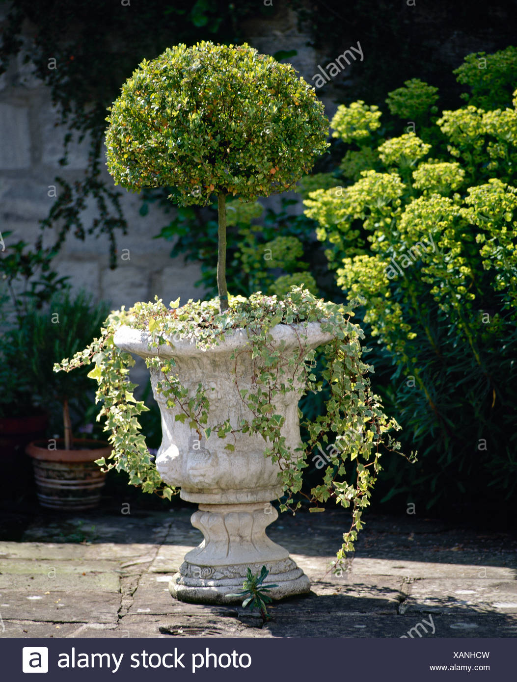 Small Topiary Tree And Trailing Ivy Growing In A Stone Urn Planter Stock Photo Alamy