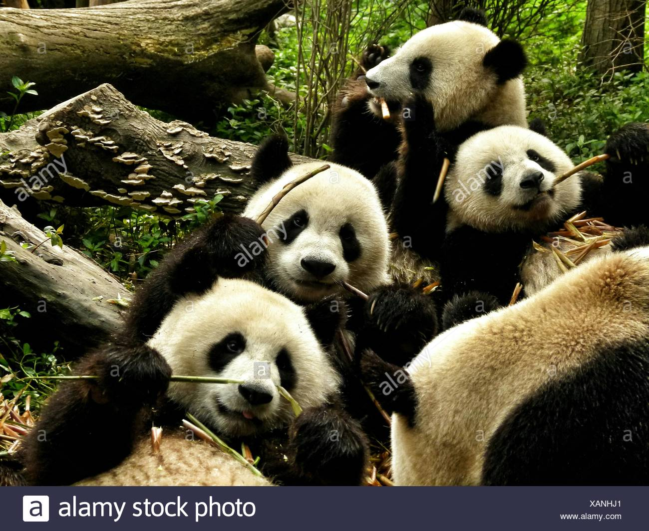 High Angle View Of Pandas In Forest - Stock Image