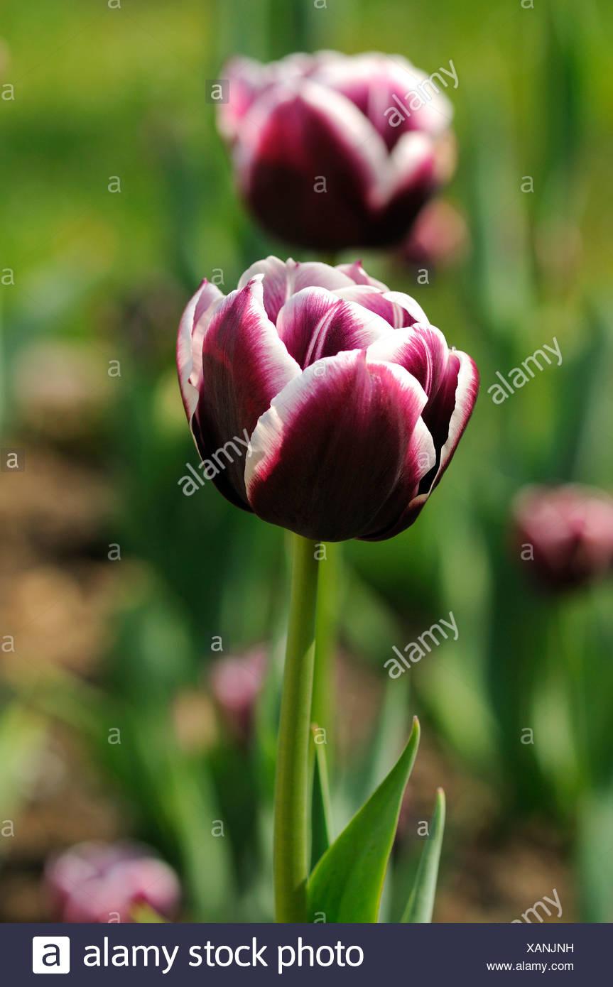 Tulips (Tulipa), variety Jackpot, Dutch tulips - Stock Image