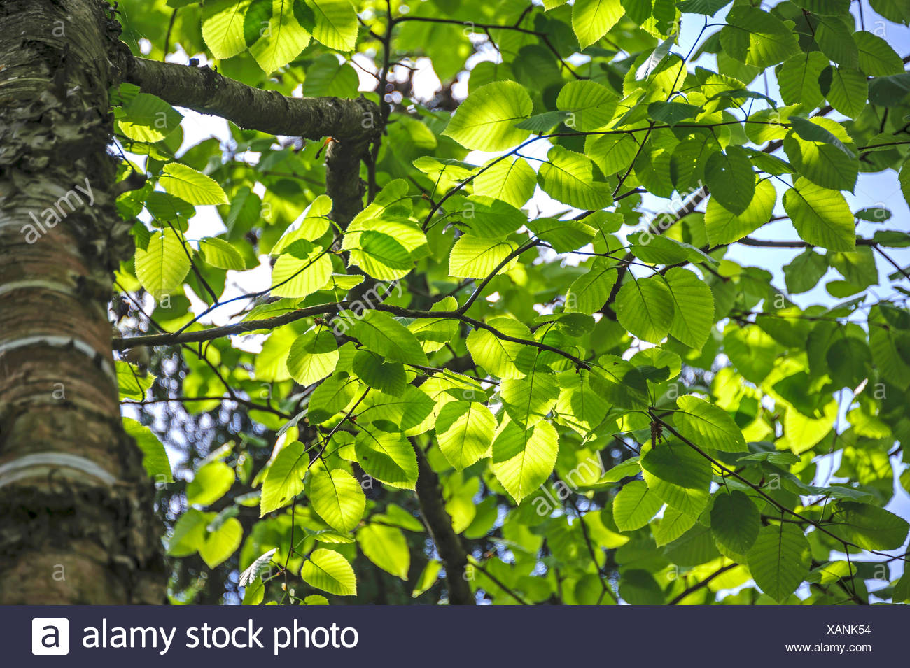 Monarch birch (Betula maximowicziana), branches in backlight, Poland, Schloßpark Prillwitz - Stock Image