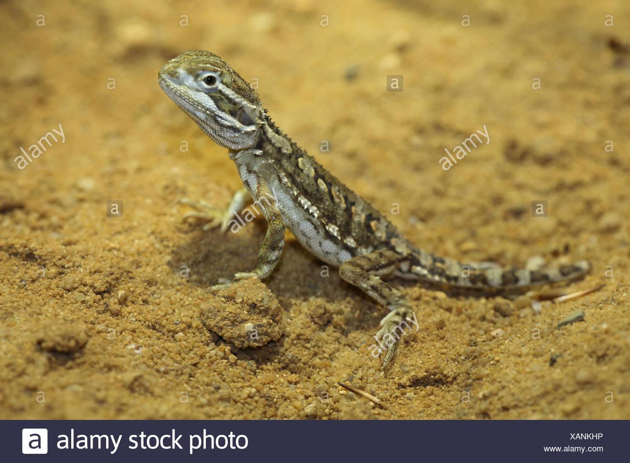 Rankin's dragon, Pogona henrylawsoni - Stock Image