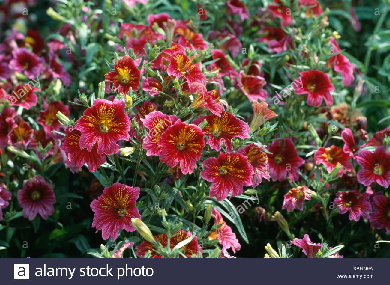 Close up of pink Salpiglossis Ingrid Misc' - Stock Image