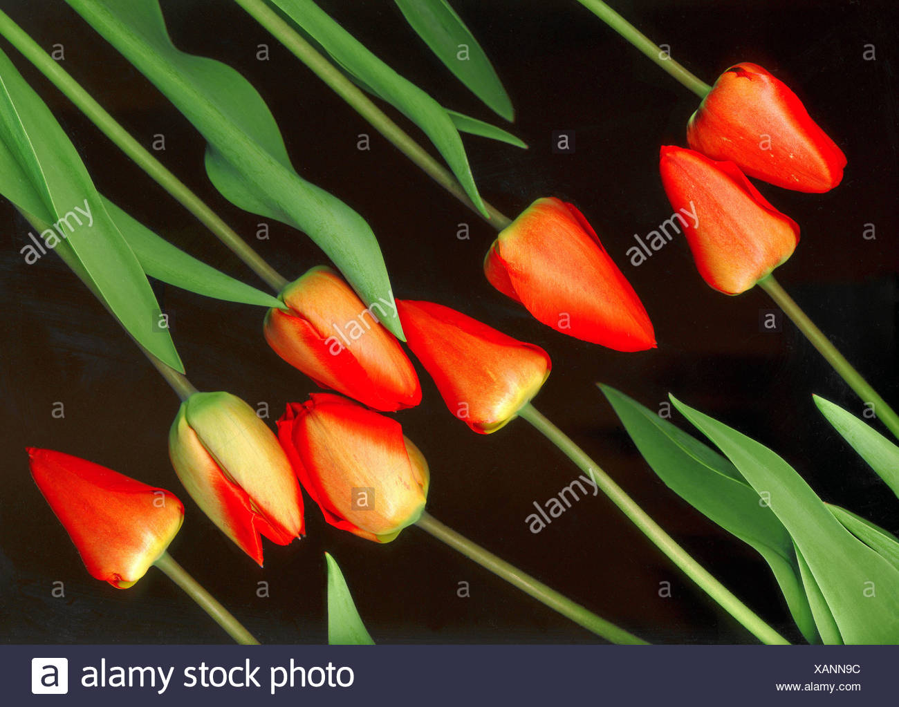 Red Tulips Symbolism Stock Photos Red Tulips Symbolism Stock