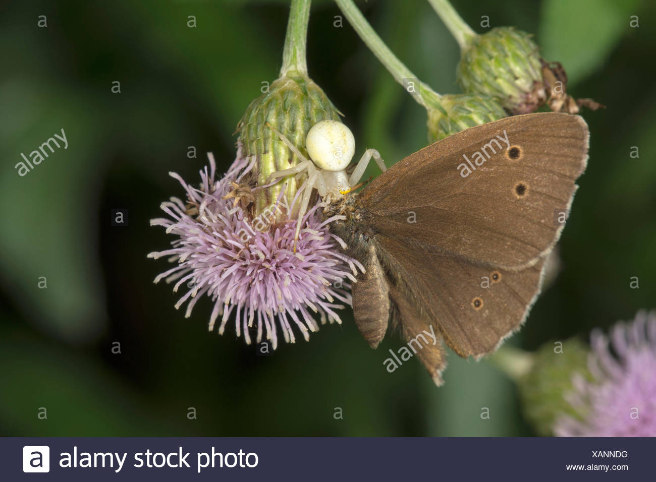 Crab spider (Misumena vatia) with Ringlet (Aphantopus hyperantus) as prey on creeping thistle, Baden-Württemberg, Germany - Stock Image