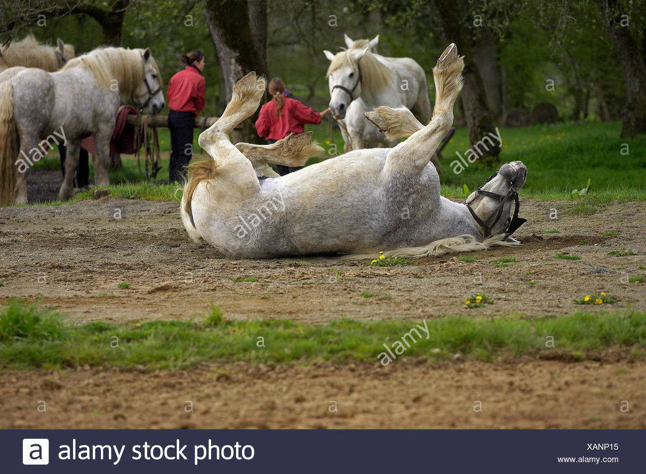 Percheron Draft Horses, a French Breed, Rolling Stock Photo