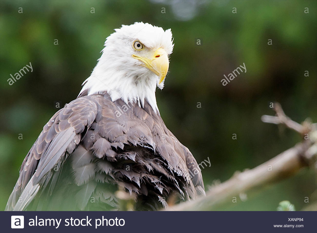 The stare of a bald eagle. - Stock Image