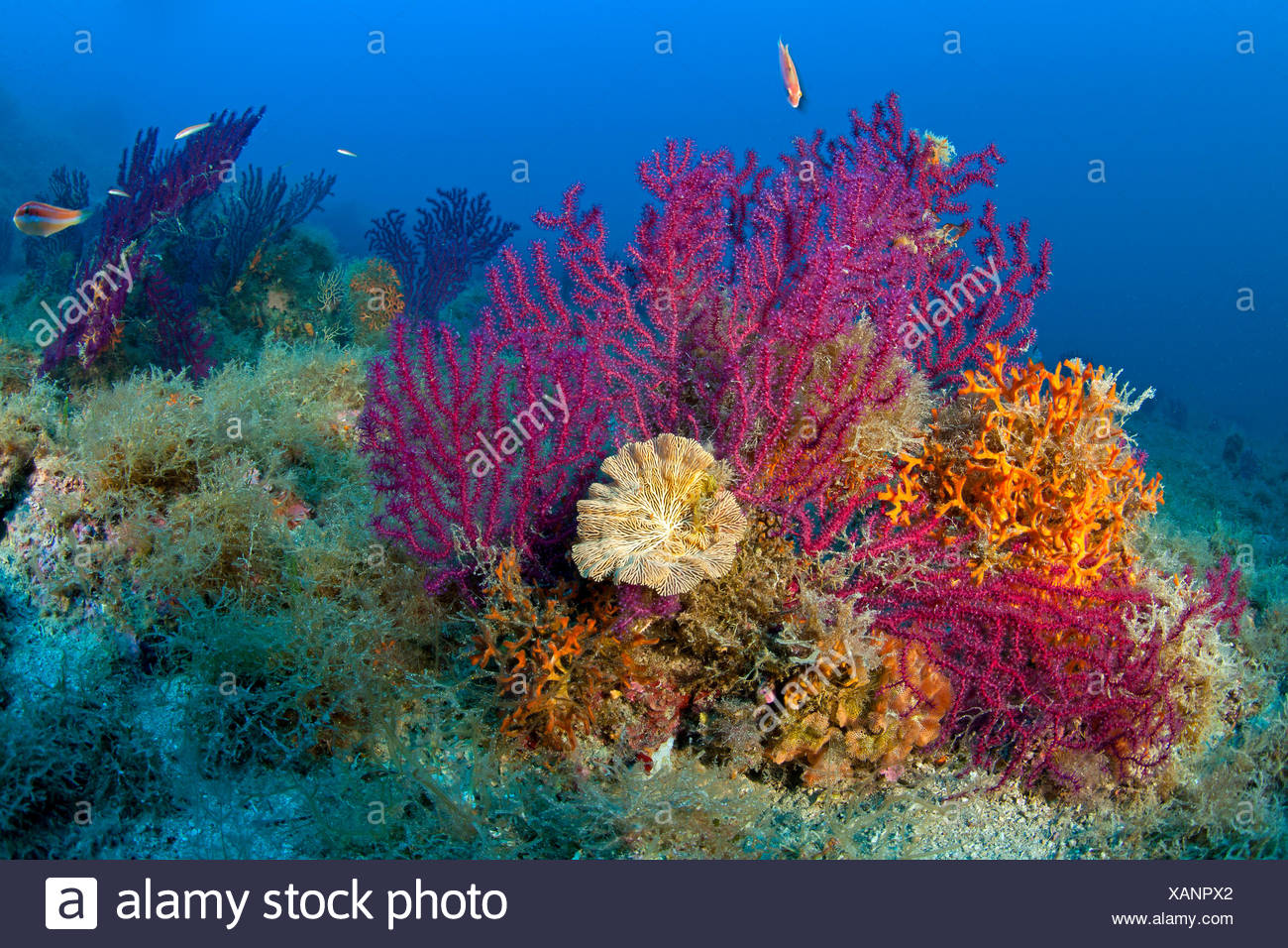 Variable Gorgonians in Coral Reef, Paramuricea clavata, Massa Lubrense, Campania, Italy Stock Photo