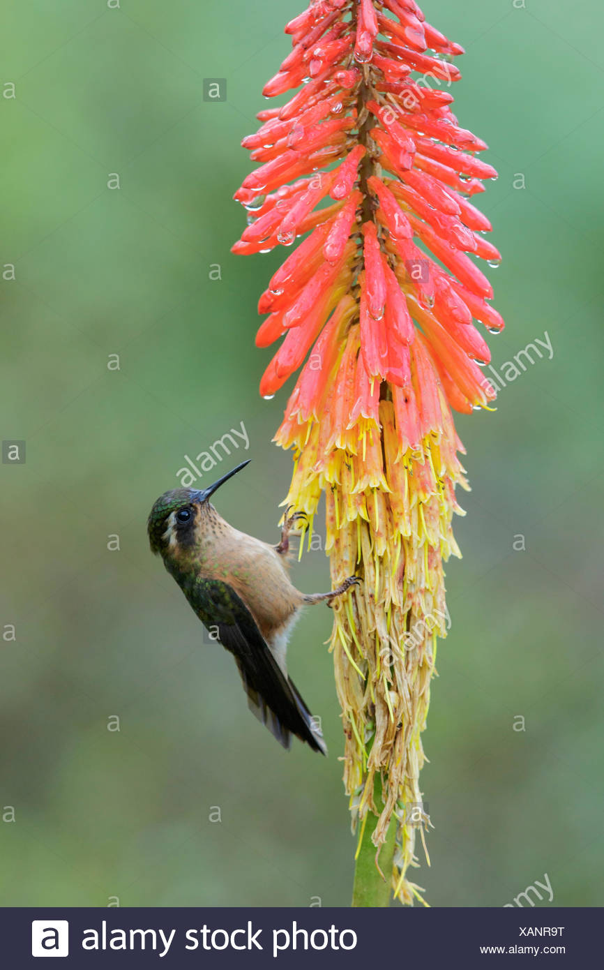 Speckled Hummingbird (Adelomyia melanogenys) perched on a branch in the Andes Mountains of Colombia. - Stock Image