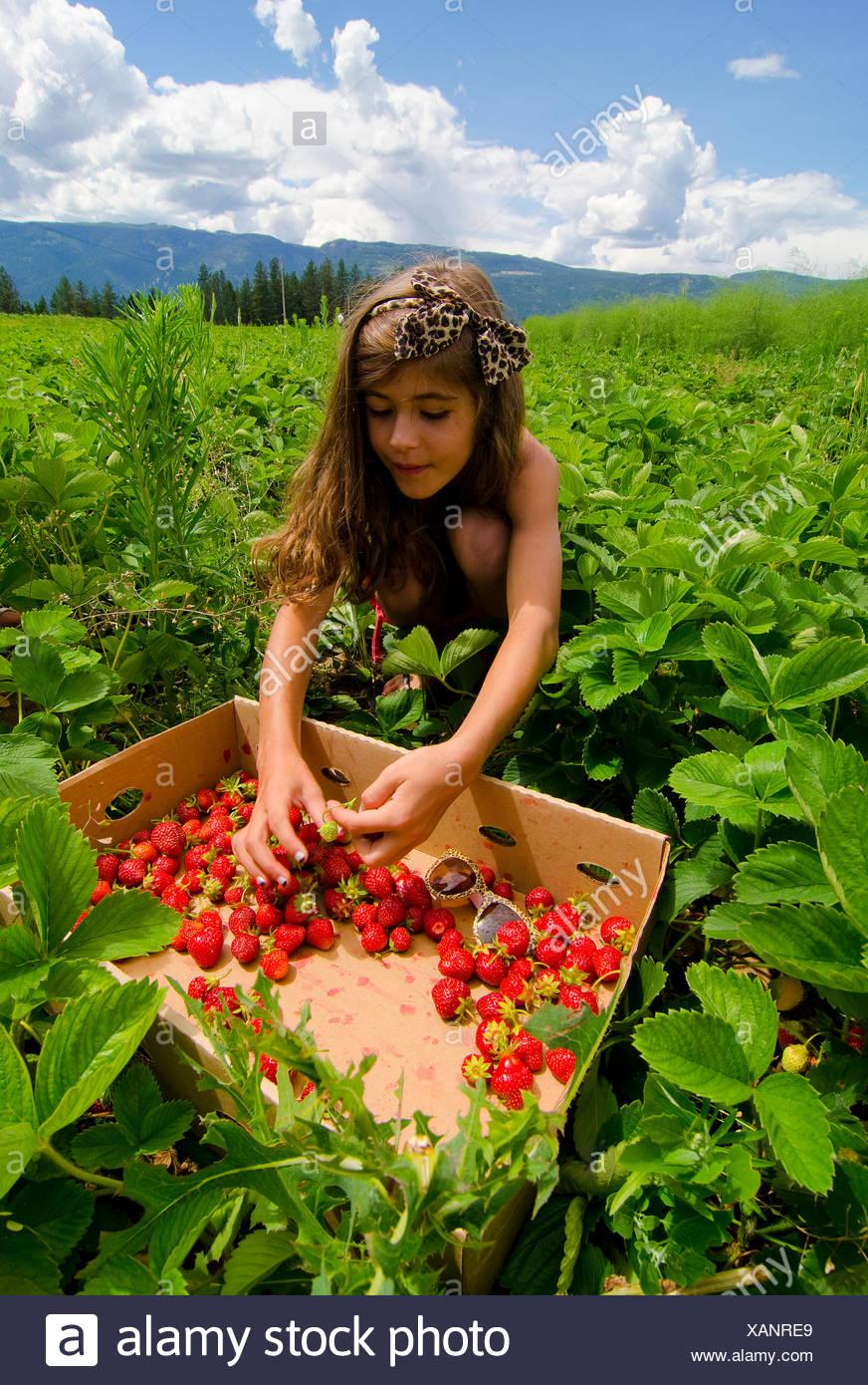 Young girl picks strawberries at Okanagan Asparagus Farm in Armstrong in Okanagan region of British Columbia Canada MR022. - Stock Image