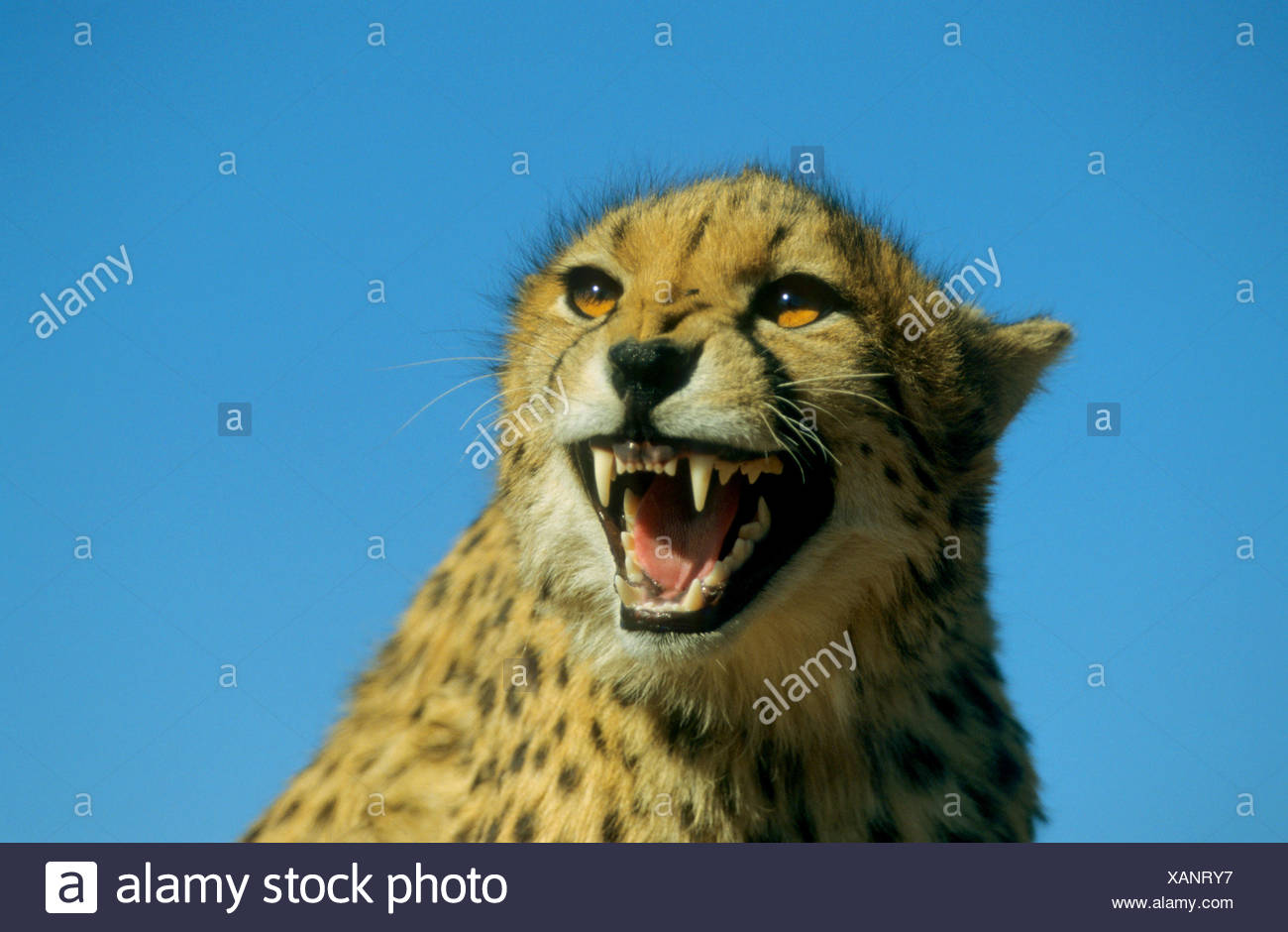 cheetah (Acinonyx jubatus), snarling Stock Photo