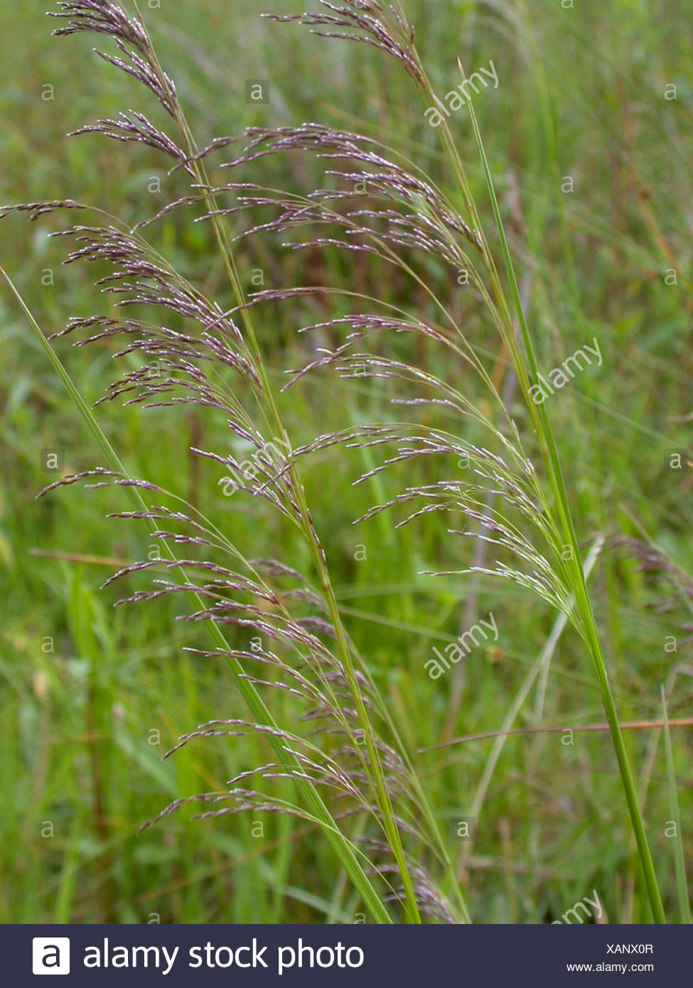 tufted hair-grass (Deschampsia cespitosa), panicles, Germany Stock Photo