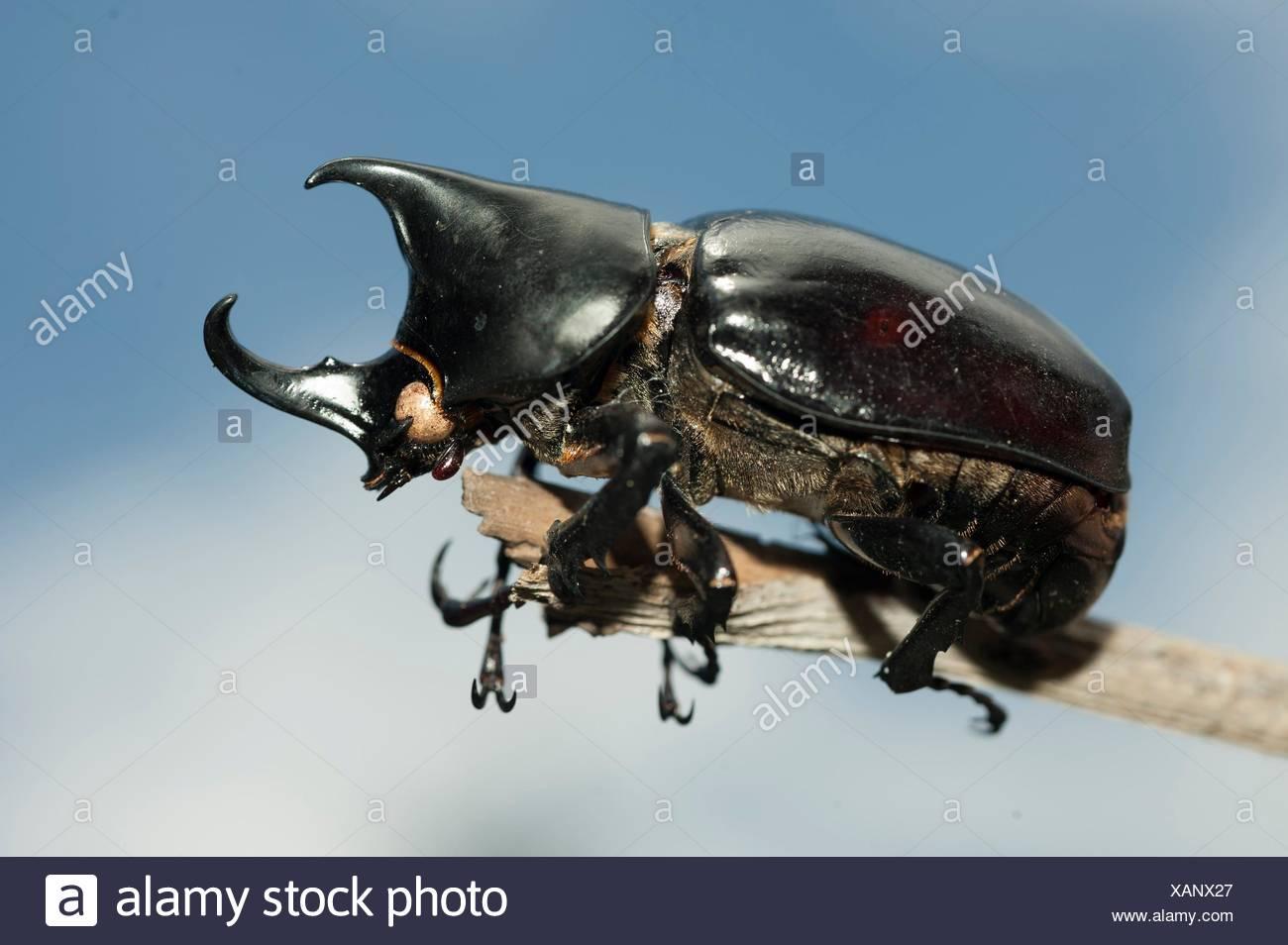 Coconut Palm aka or Asiatic Rhinoceros Beetle (Coleoptera order, Polyphaga suborder, Scarabaeidae family, Dynastinae sub-family) on twig, Klungkung, Stock Photo
