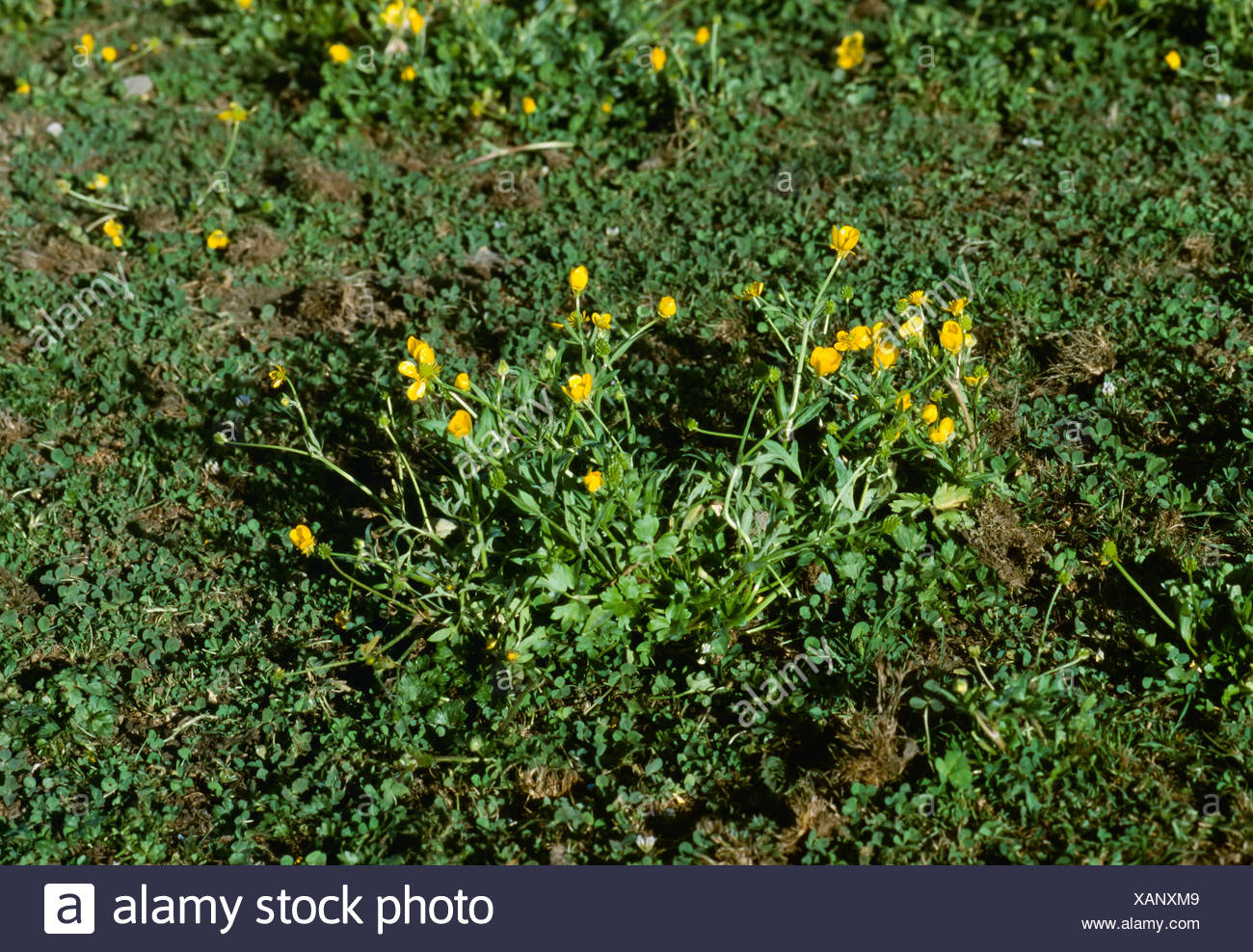 Agriculture - Weeds, Hairy Buttercup (Ranunculus sardous), flowering plant / California, USA. - Stock Image