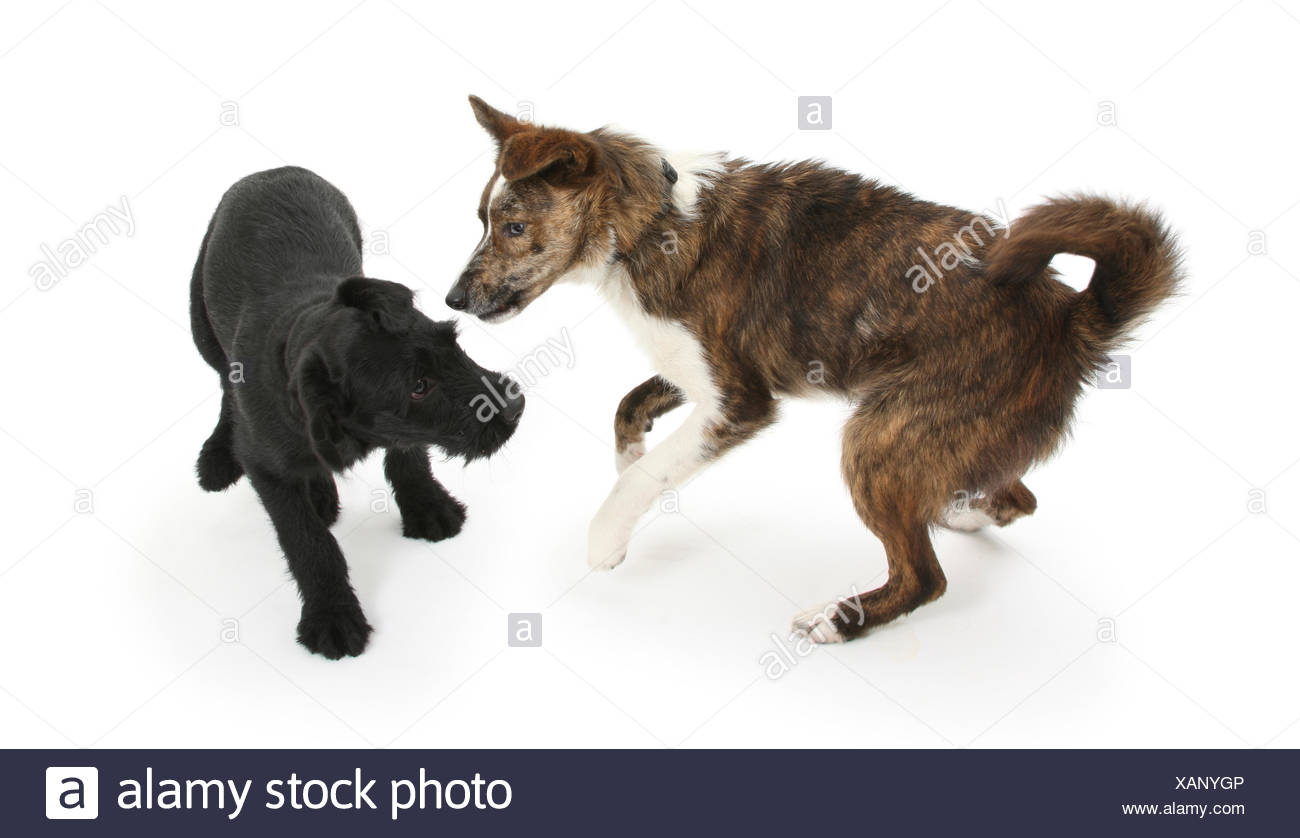 Collie cross dog Brec, with hackles raised, showing assertiveness over black puppy. - Stock Image