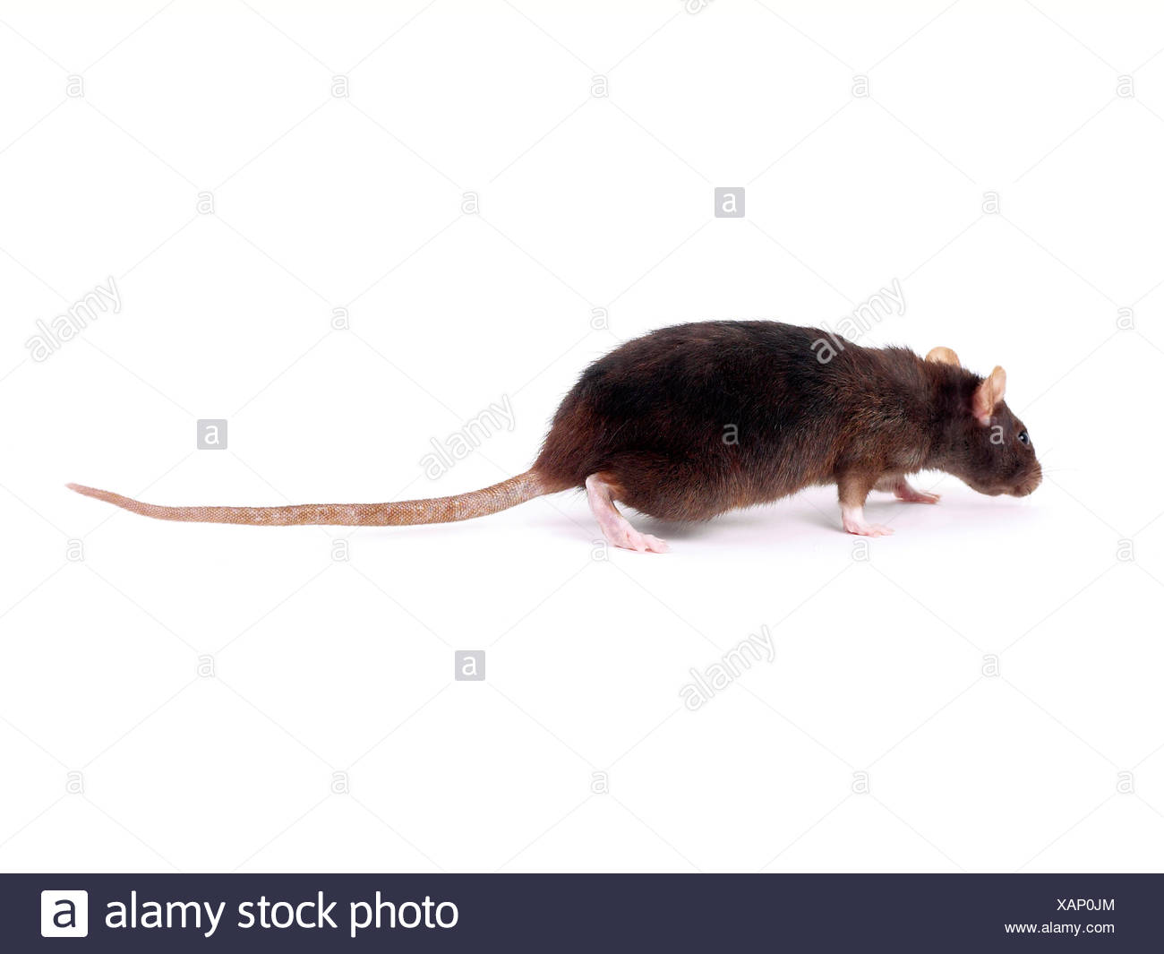 A brown rat sniffing the floor. Stock Photo