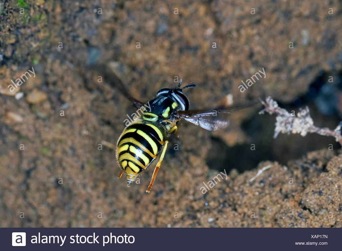 Spaete-Wespen-Schwebfliege (Chrysotoxum arcuatum, Chrysotoxum fasciatum), imitates the look of wasps for protection from enemies, Germany - Stock Image
