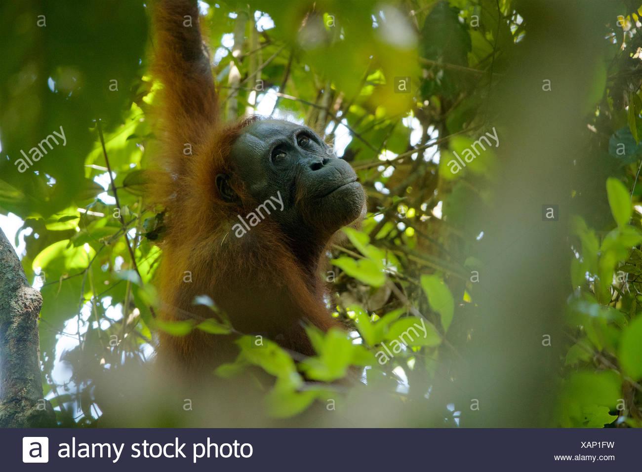 An adult female Bornean orangutan, Pongo pygmaeus wurmbii, rests in a tree in Gunung Palung National Park. - Stock Image