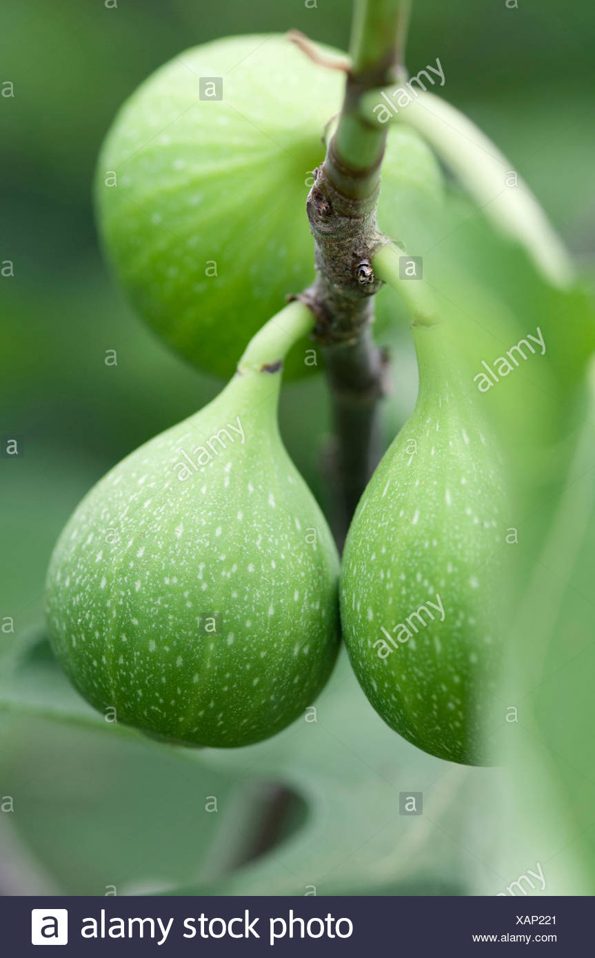 Unripe green fruit of Ficus carica 'Excel' growing on the branch of a Fig tree. - Stock Image