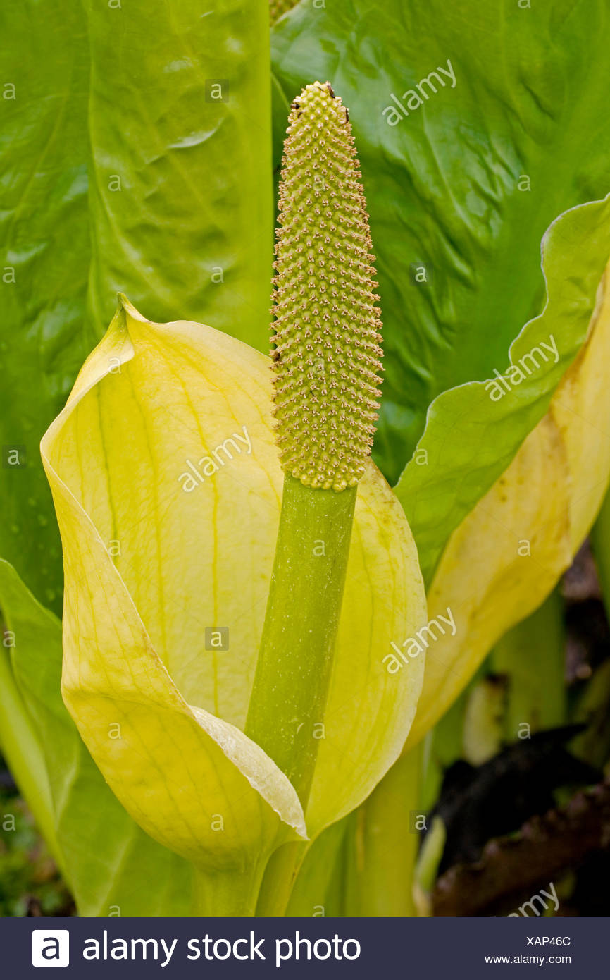 skunk cabbage, swamp lantern, yellow arum, yellow skunk cabbage (Lysichiton americanus), inflorescence, USA, Douglas Island - Stock Image