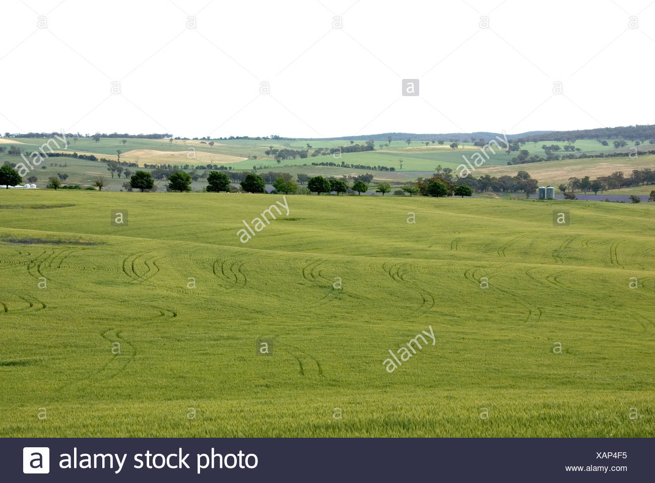 agricultural tree trees agriculture farming field australia wheat farm crops - Stock Image