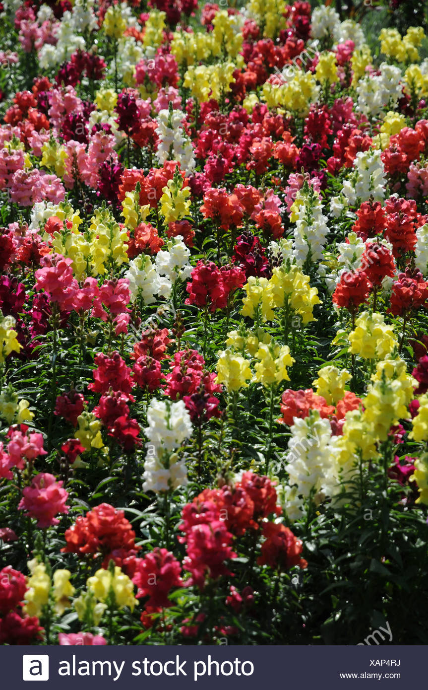 Snapdragons Stock Photo