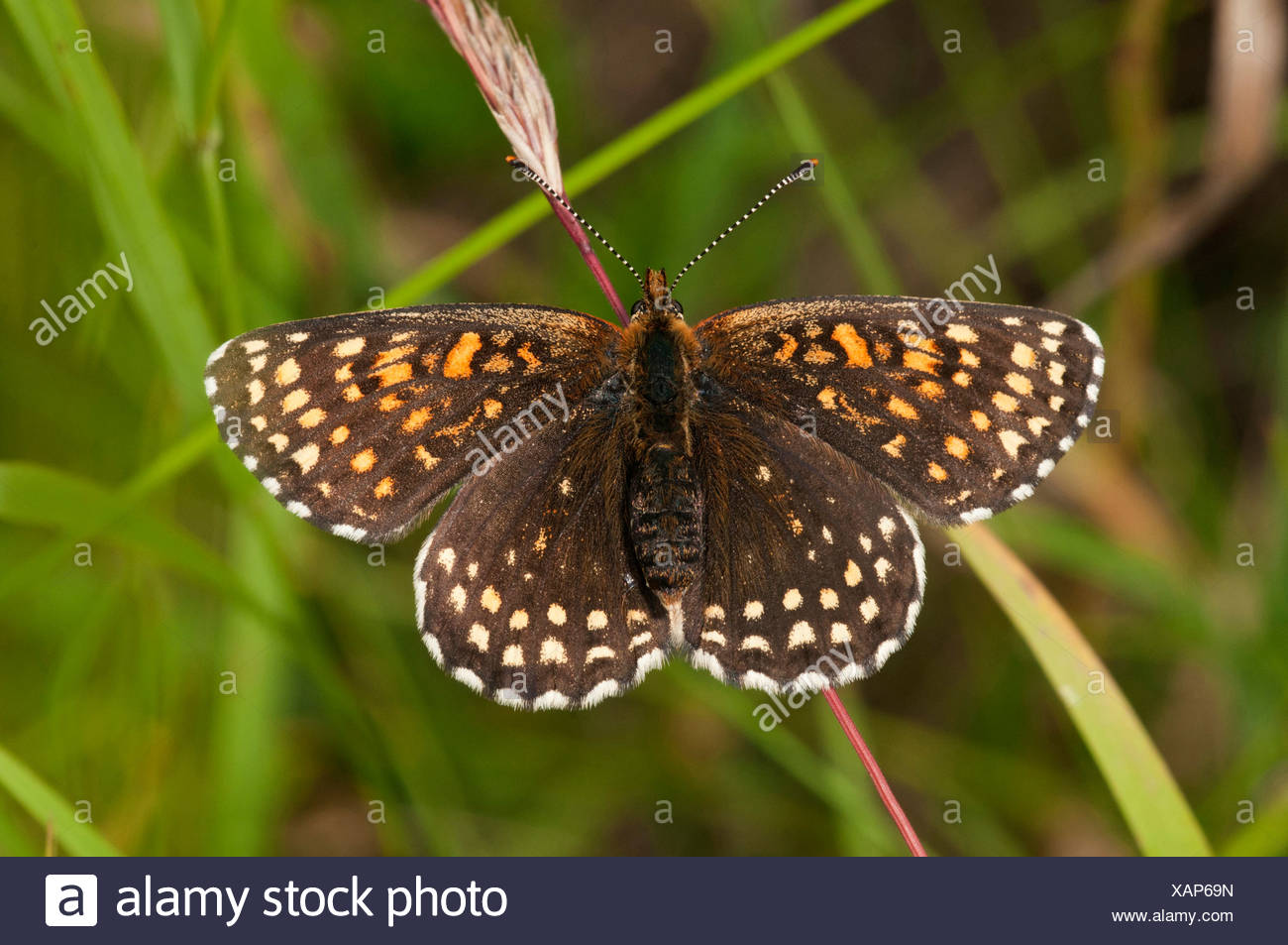 False Heath Fritillary (Melitaea diamina) - Stock Image