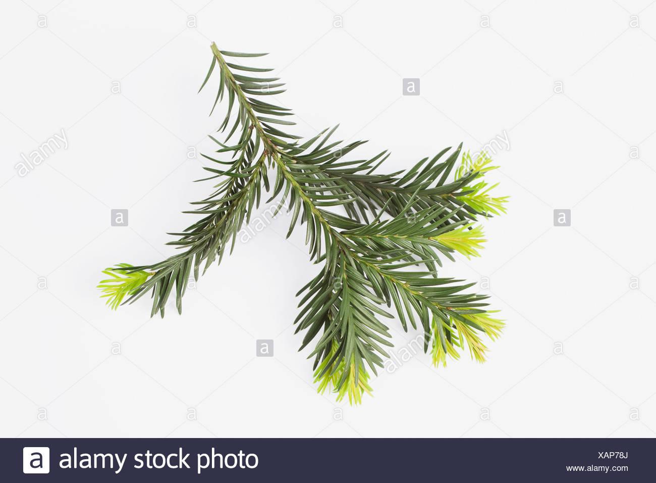 Close up of English Yew on white background - Stock Image