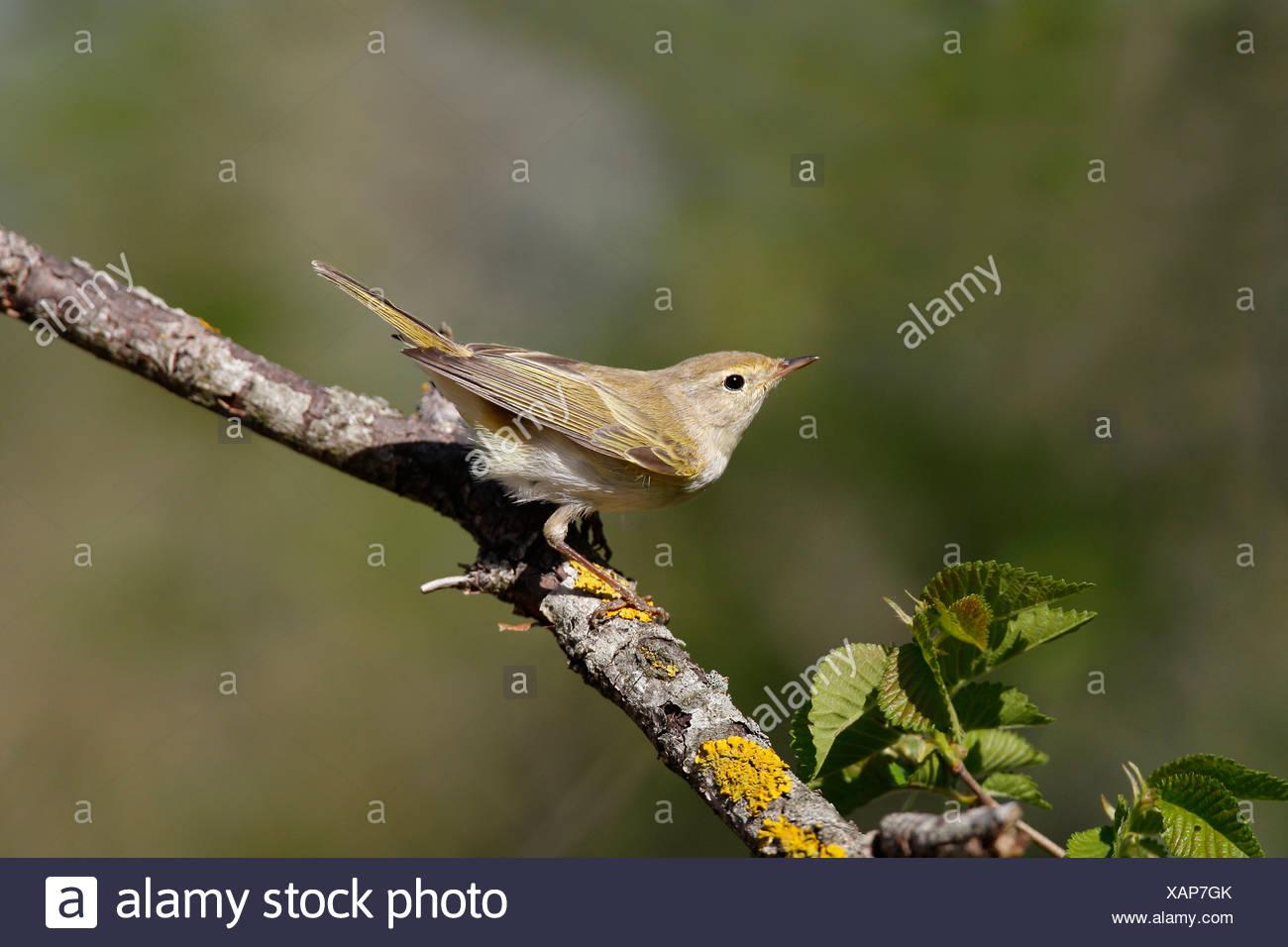 Zijaanzicht en zijblik van een Bergfluiter op een tak. Side view from a Western Bonelli's Warble on a branch. - Stock Image