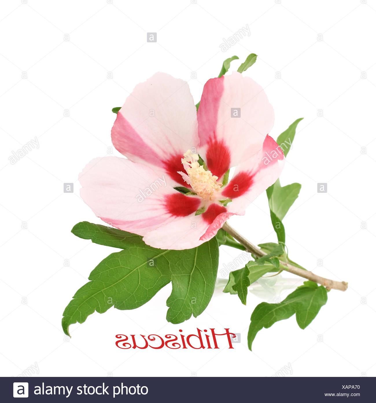 hibiscus blossom Stock Photo