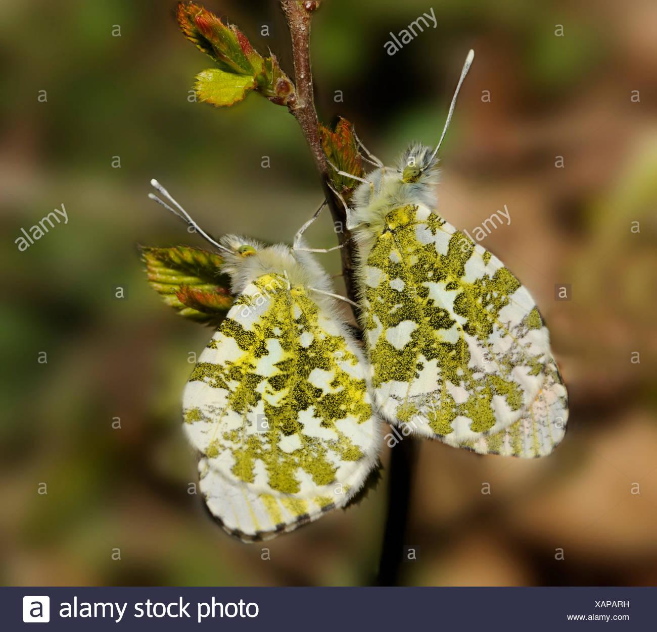Orange tip mating on twig - Vosges France - Stock Image