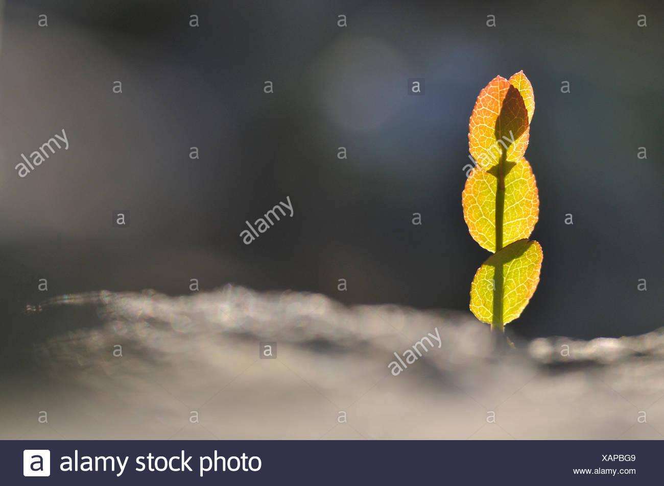 color image Dalarna horizontal leaf nature Scandinavia Sweden - Stock Image