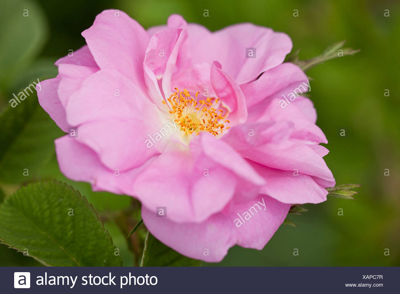 Blooming flower of a Damask Roses (Rosa damascena) in the Valley of Roses, Dades Valley, southern Morocco, Morocco, Africa - Stock Image