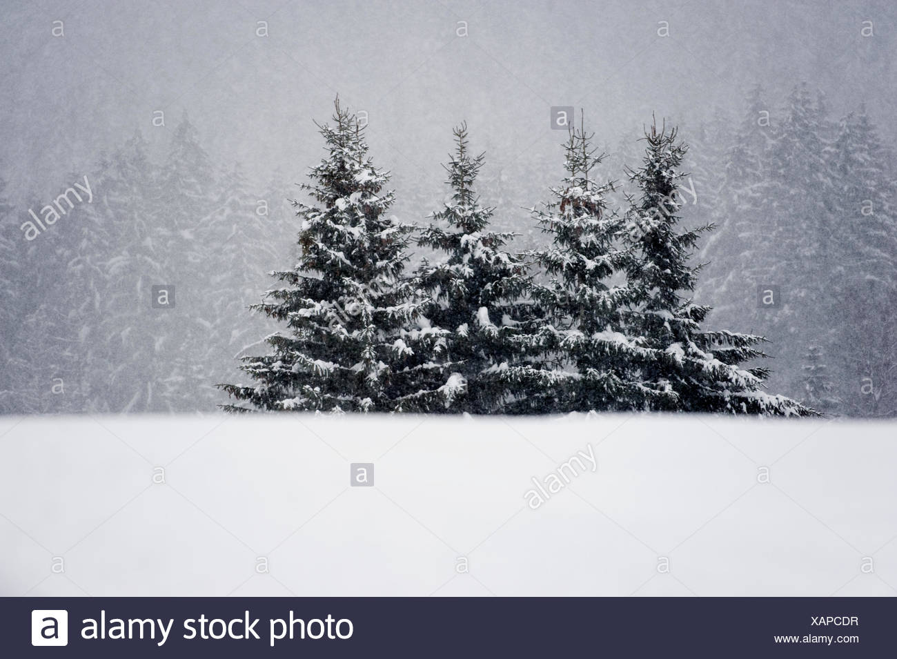 Norway spruce forest in winter Stock Photo