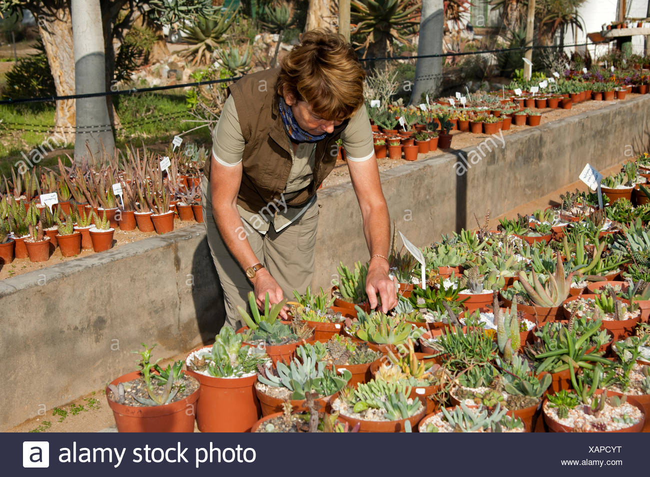 Woman observing succulent potted plants in Kokerboom Succulent Nursery in Vanrhynsdorp, Western Cape Province, South Africa - Stock Image