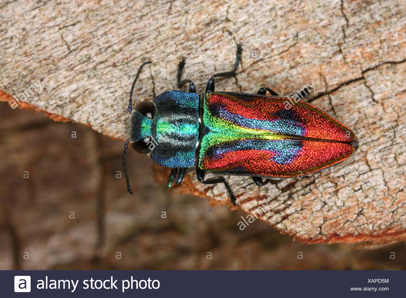 Jewel beetle, Wood-boring beetle (Anthaxia candens), on deadwood, Germany - Stock Image