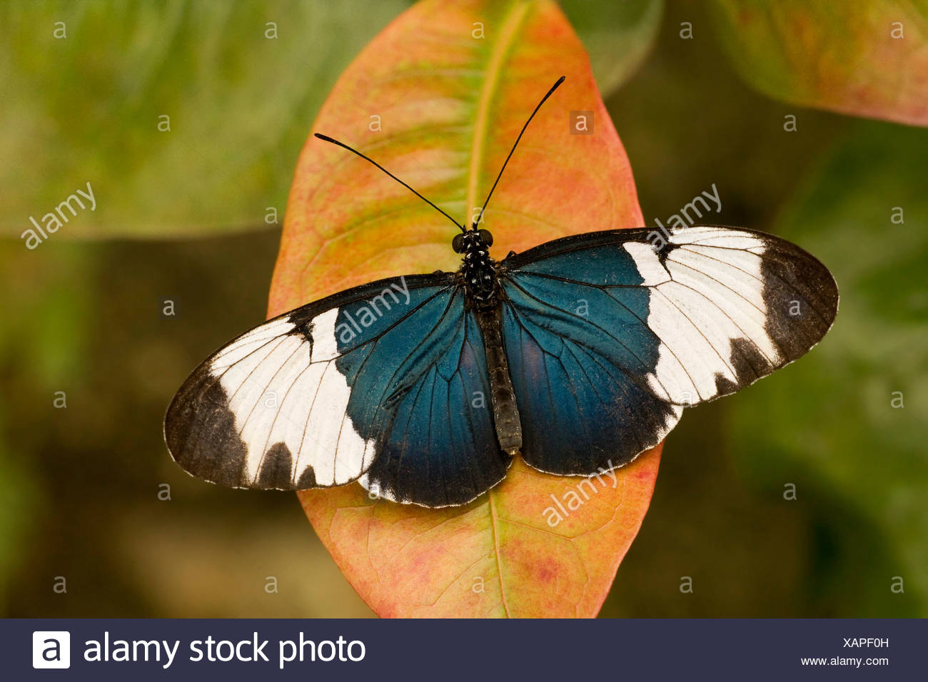 Close-up of a Sapho Longwing butterfly (Heliconius sapho) - Stock Image