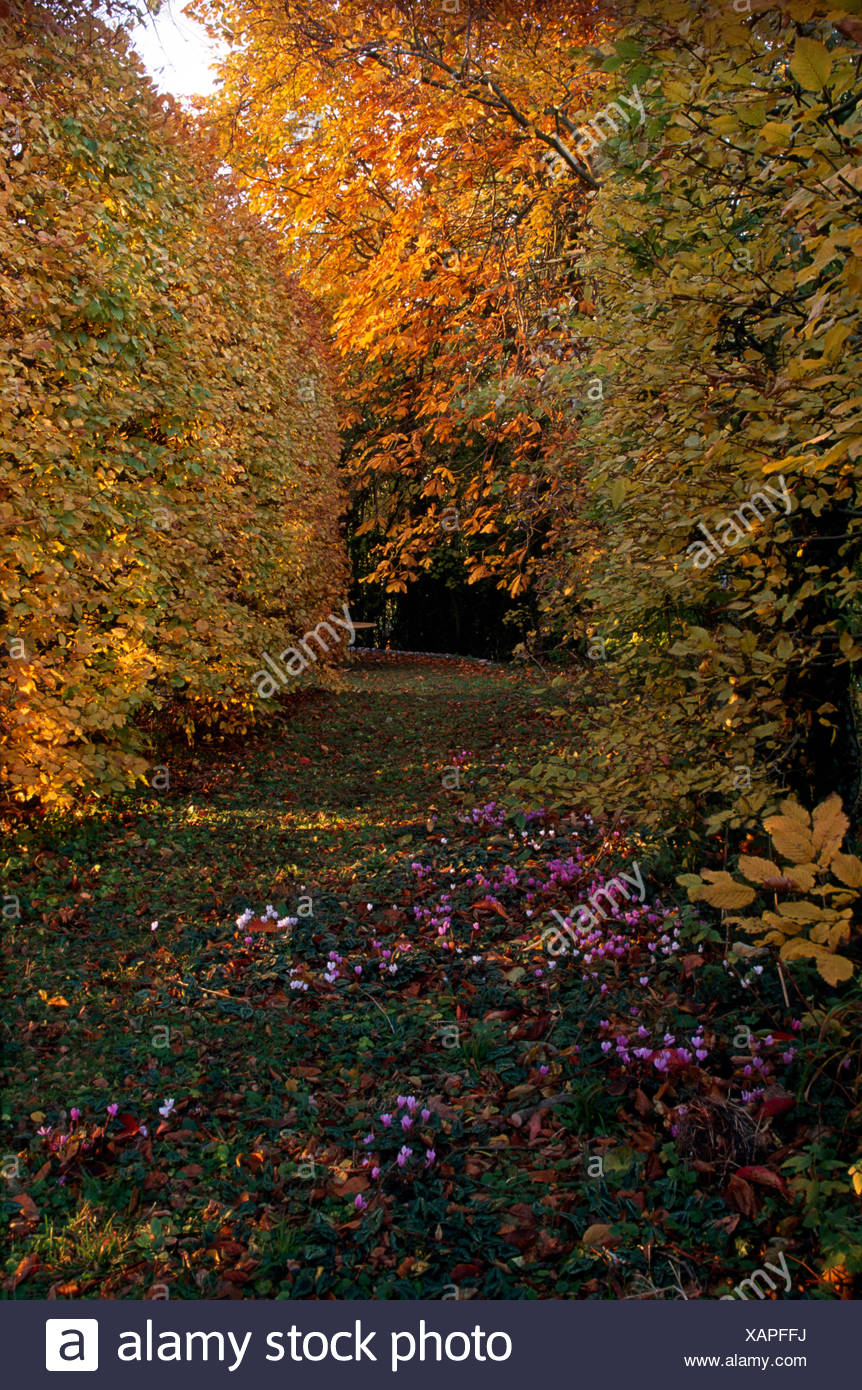 Pink cyclamen growing in path between beech hedges and trees in a large autumn garden Stock Photo