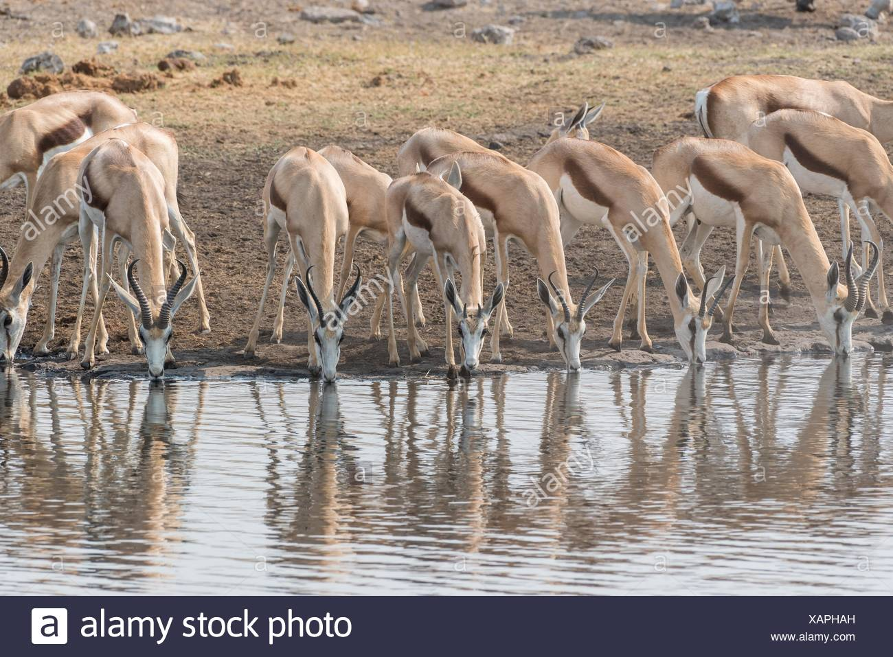 Springbok (Antidorcas marsupialis).Etosha National Park. Namibia.Africa - Stock Image